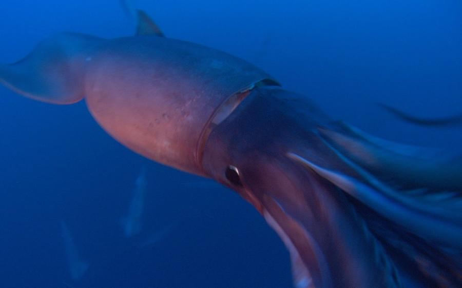 Killer Animals: Colossal Squid